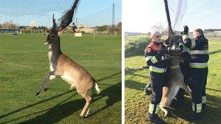 Hert met gewei verstrikt in net Zandvoortse golfbaan