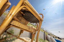 Duizenden bijen gaan dagje naar het strand bij Zandvoort